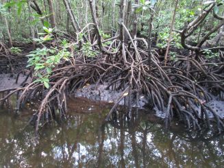 mangroves in Jozani National Park, Zanzibar